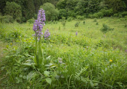 Orchidées et coteau calcaire